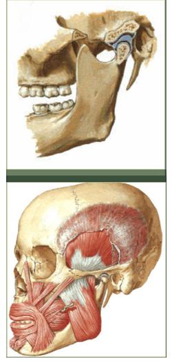 mandibola, muscolil mandibolari in gnatologia